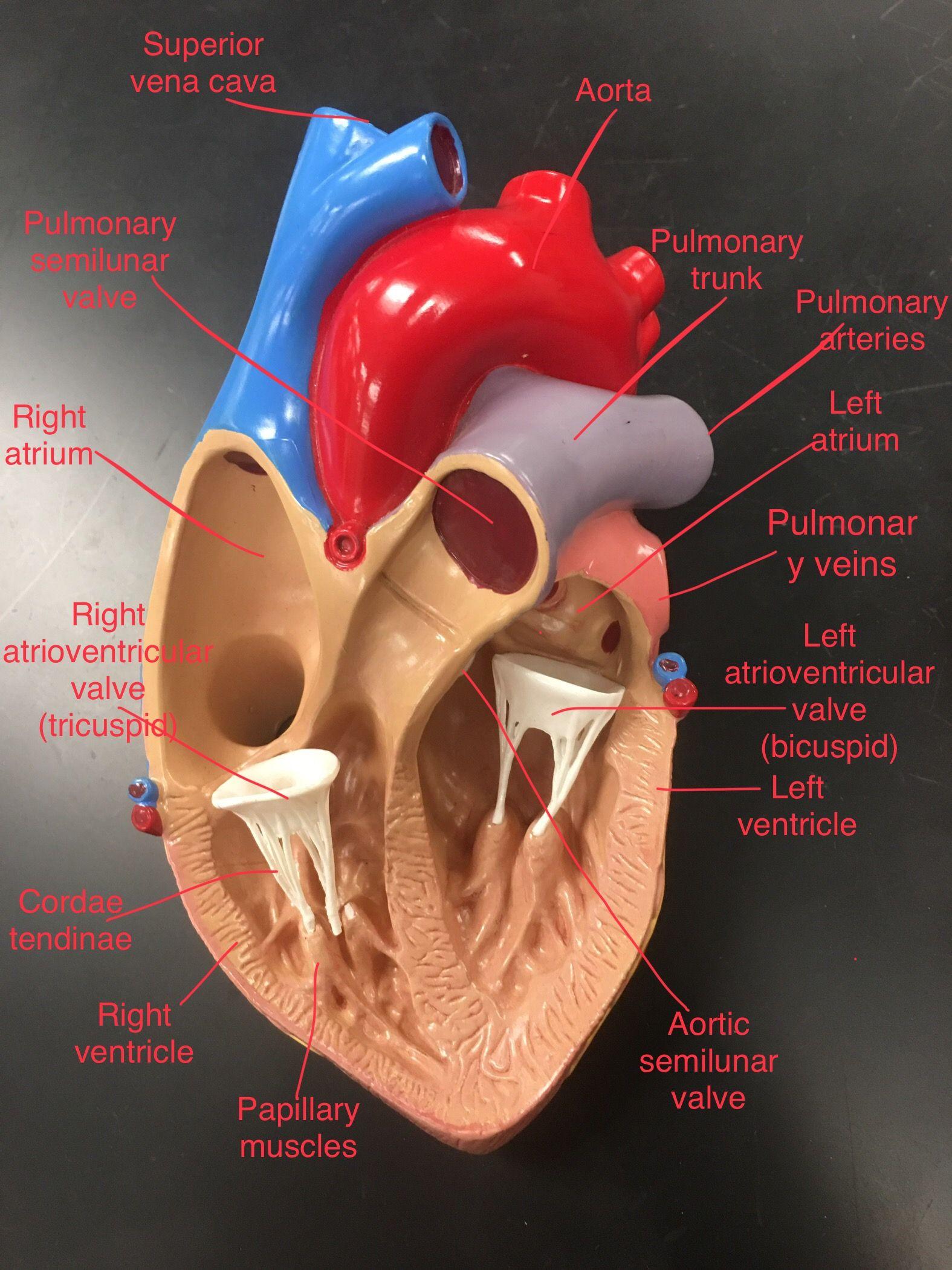 Heart anatomy - labeled | Anatomy, physiology, Medical ...