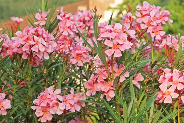 oleander richtig schneiden garten pinterest oleander schneiden k belpflanzen und blumengarten. Black Bedroom Furniture Sets. Home Design Ideas