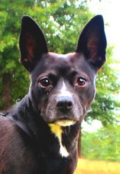 MOLLY is an adoptable Boston Terrier Dog in Alexandria, VA. CONTACT INFO FOR THIS DOG............ Susie Cobb Boston Terrier Rescue of SC http://bostonrescueofsc.org H 803-279-8069 C 706-726-2221 �  Mo...