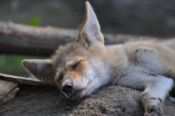 BUY ONE Get One Free  Sleeping Coyote Pup by @allisonwilsonphotos, $20.00