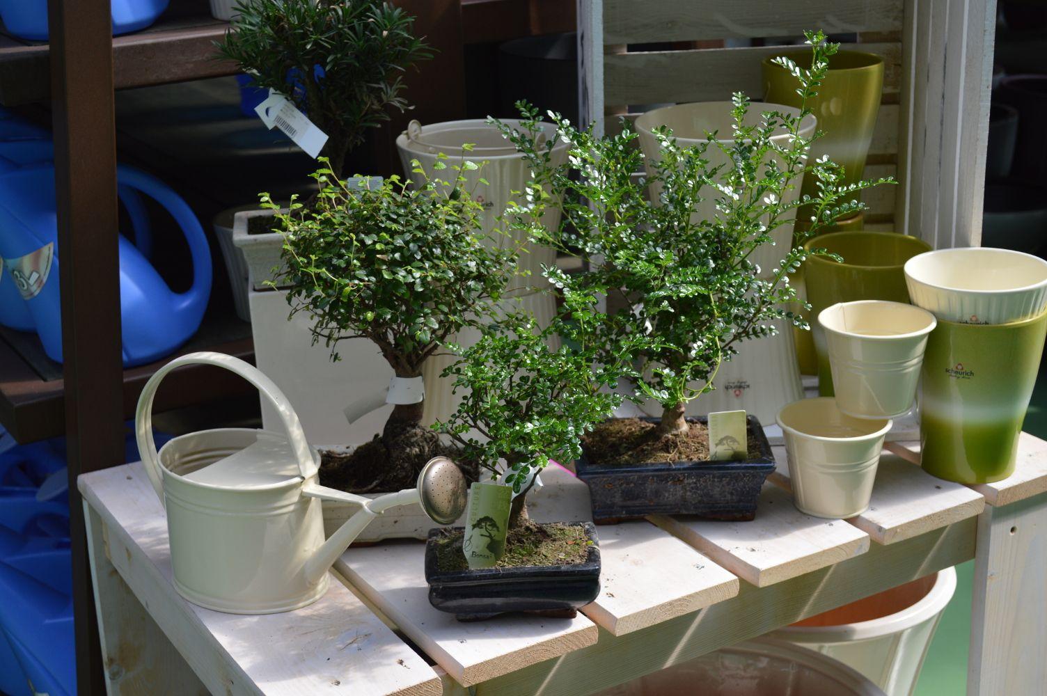 Bonsais  http://lessolaes.es/categoria-de-producto/bonsais-y-pre-bonsais/