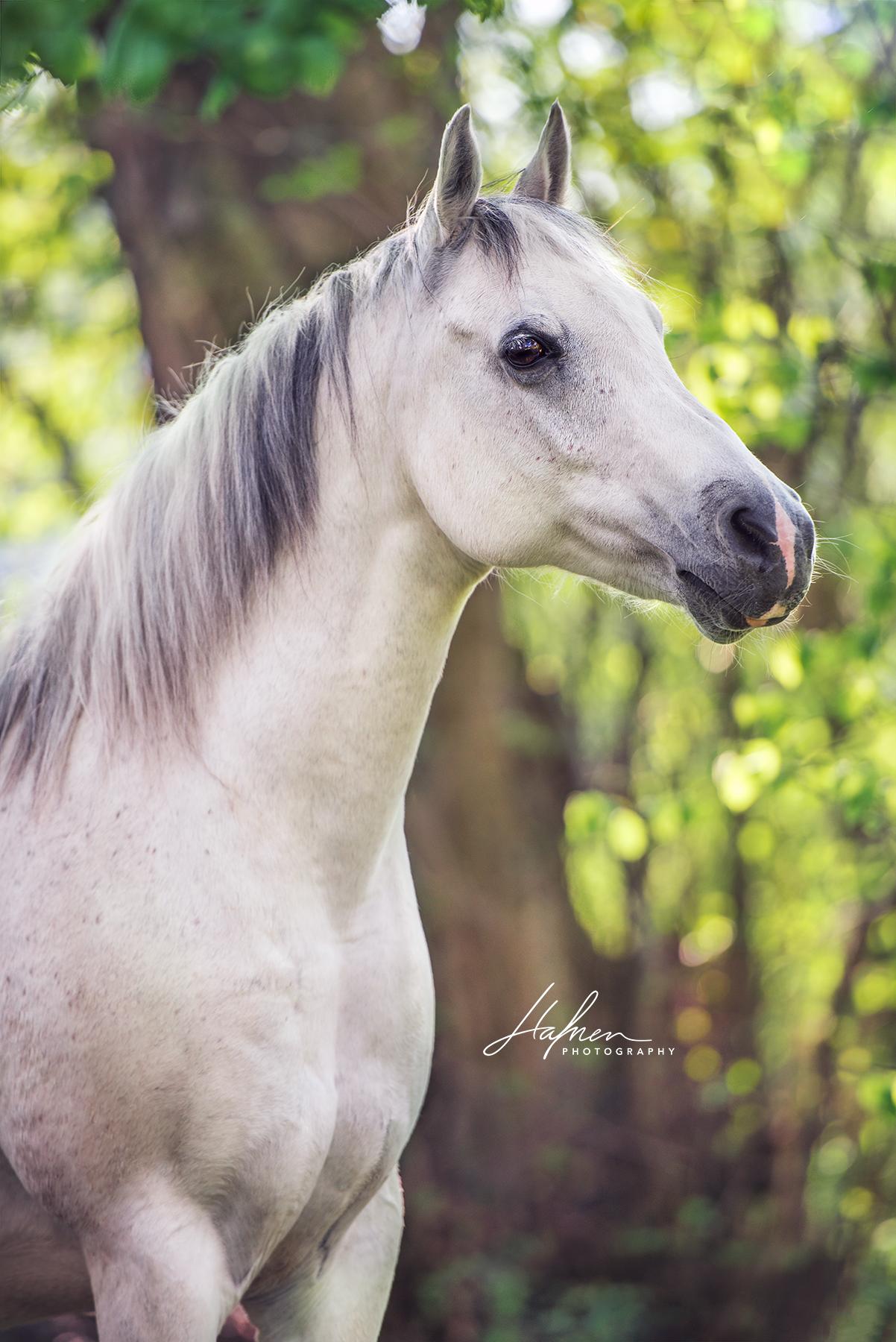 Weisser Araber Im Portrait Schimmel Pferd Bilder Foto Fotografie Fotoshooting Pferdefotografie Pfe Horses Beautiful Arabian Horses Horse Photos