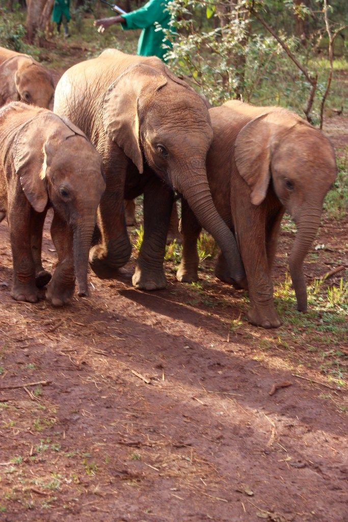 Visit the David Sheldrick Wildlife Trust where you can adopt an orphaned baby elephant. Learn more about this once in a lifetime experience!