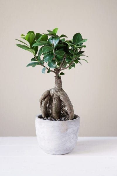 Ginseng Ficus Bonsai Care – Growing Ginseng Ficus As A Bonsai Tree