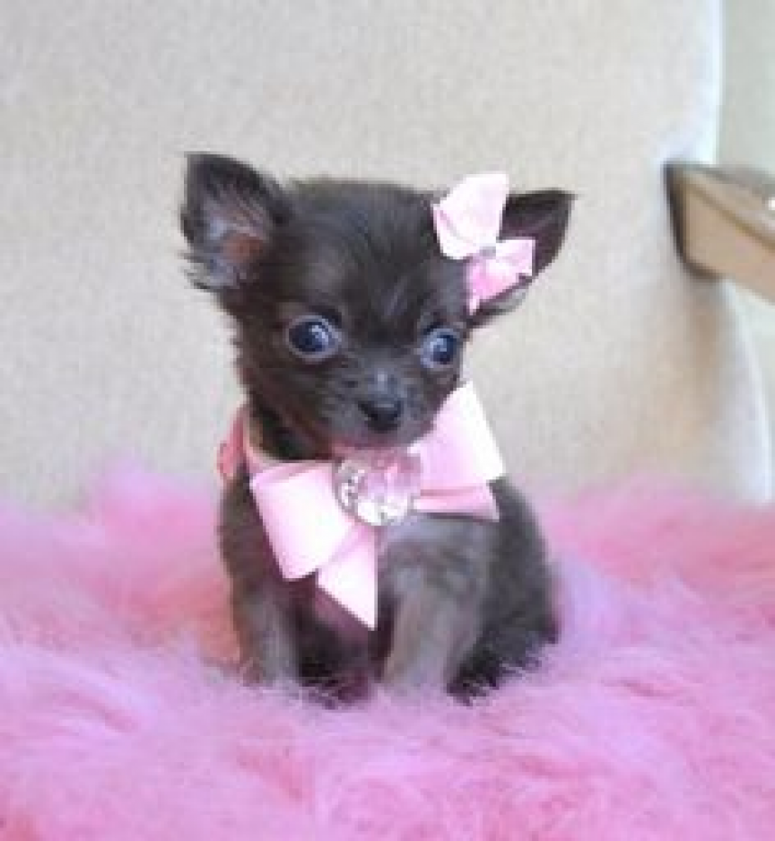 Mini Toy Chihuahua Puppies For Good Homes Anchorage Ak HD