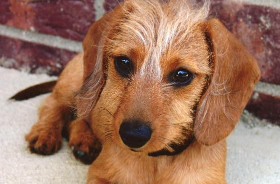 We Own Wire Haired Doxies I Love This Breeder Our Grettyl Looks