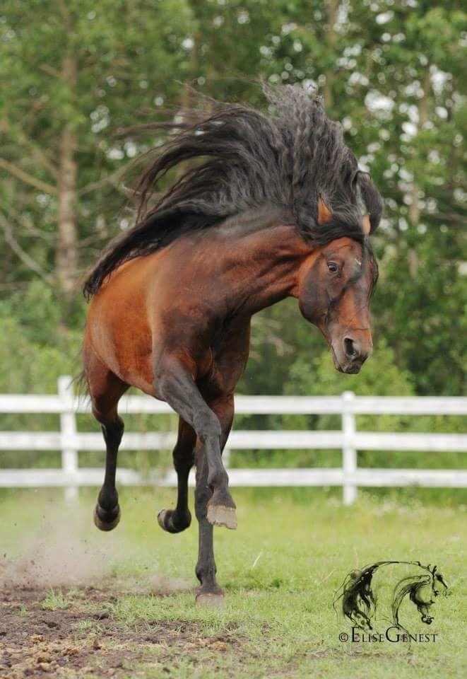 Ministro V Brezo V X Ministra Seni 2005 Bay Spanish Stallion Show Horses Beautiful Horses Pretty Horses