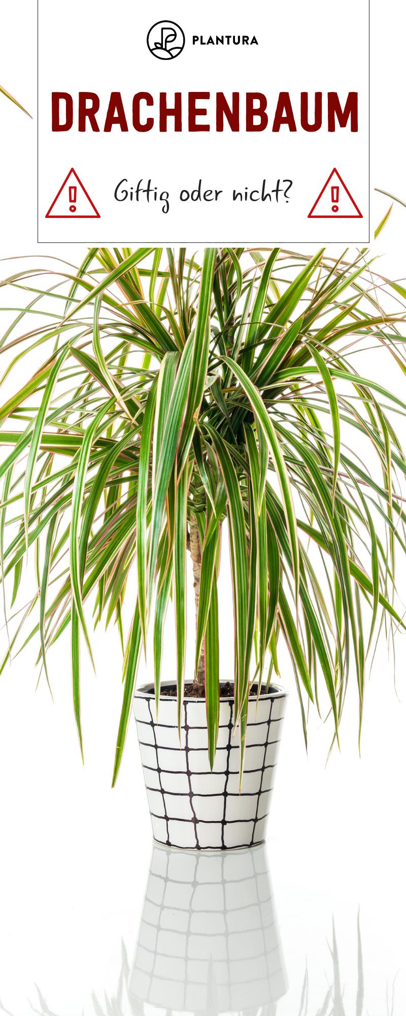 Drachenbaum Giftig für Katze, Hund & Co Drachenbaum