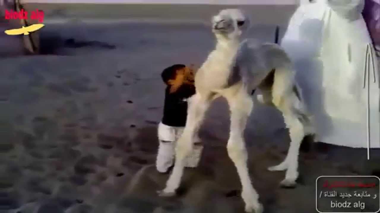 طفل يلعب مع جمل صغير حوار و يسقطه ثم يقبله Youtube Places To Visit Youtube Animals