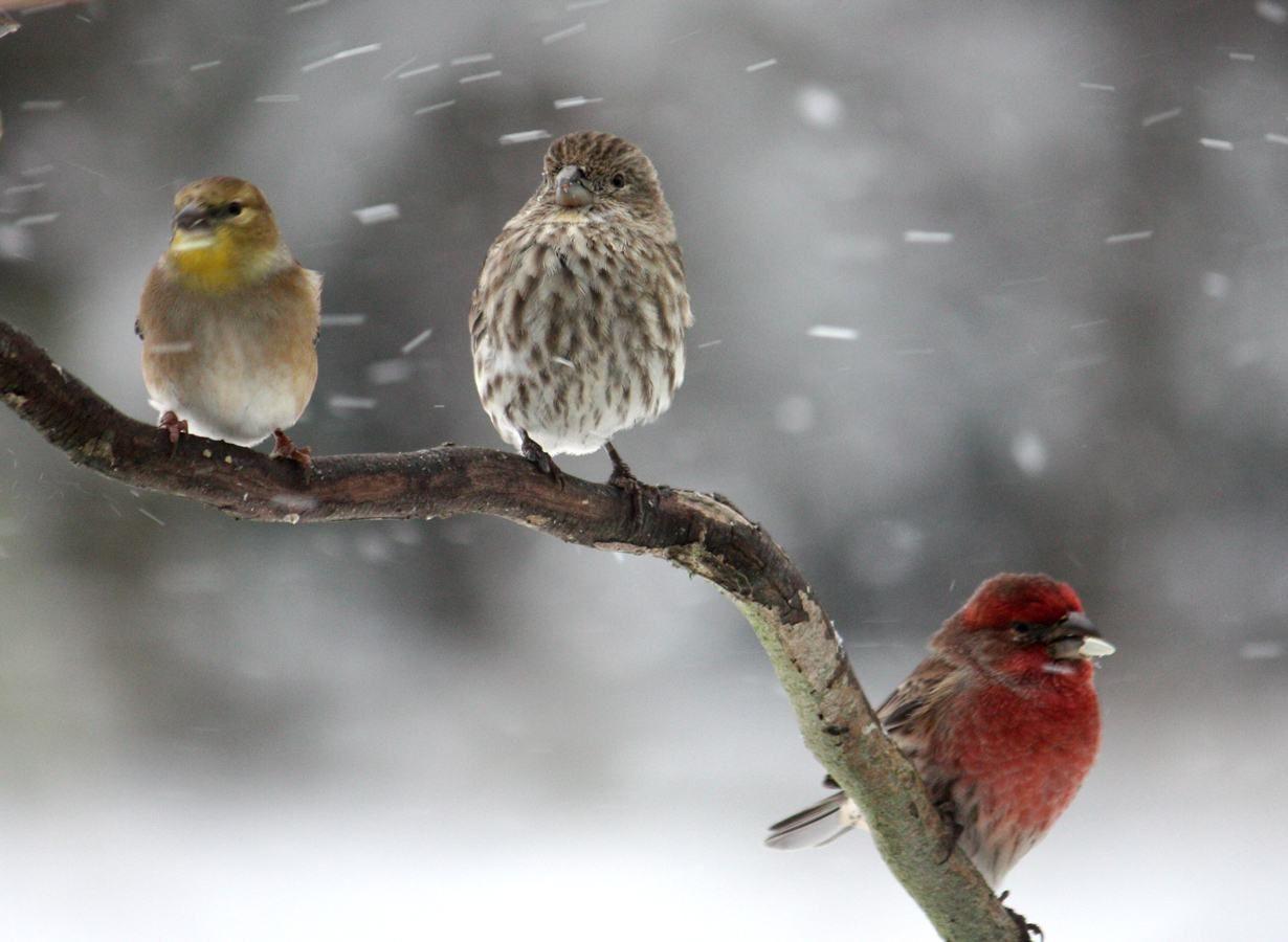 Krásné Ptáci Zimní Tapety