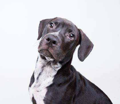 Ross - URGENT - Dekalb County Animal Shelter in Decatur, Georgia - ADOPT OR…