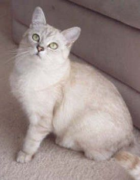 Burmilla Cat Facts Burmilla Cat Cat Facts Burmese Cat