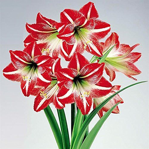 Amaryllis Minerva Holiday Gift Growing Kit Includes Big Minerva Bulb Bulb Flowers Amaryllis Bulbs Red And White Flowers