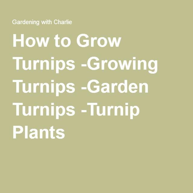 How to Grow Turnips -Growing Turnips -Garden Turnips -Turnip Plants