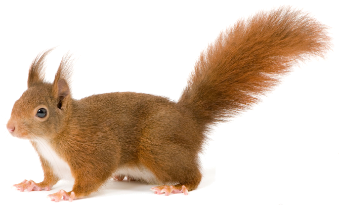 Pin By Transparent Png Images On Animal Png Squirrel