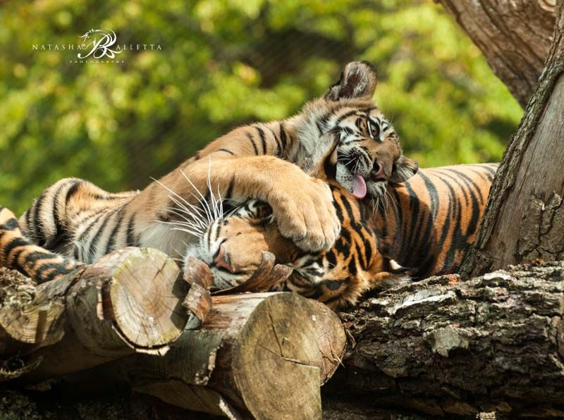 One of the tiger cubs trying to wake up Melati when she was having a afternoon nap lol.
