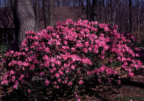 Rhododendron P.J.M.