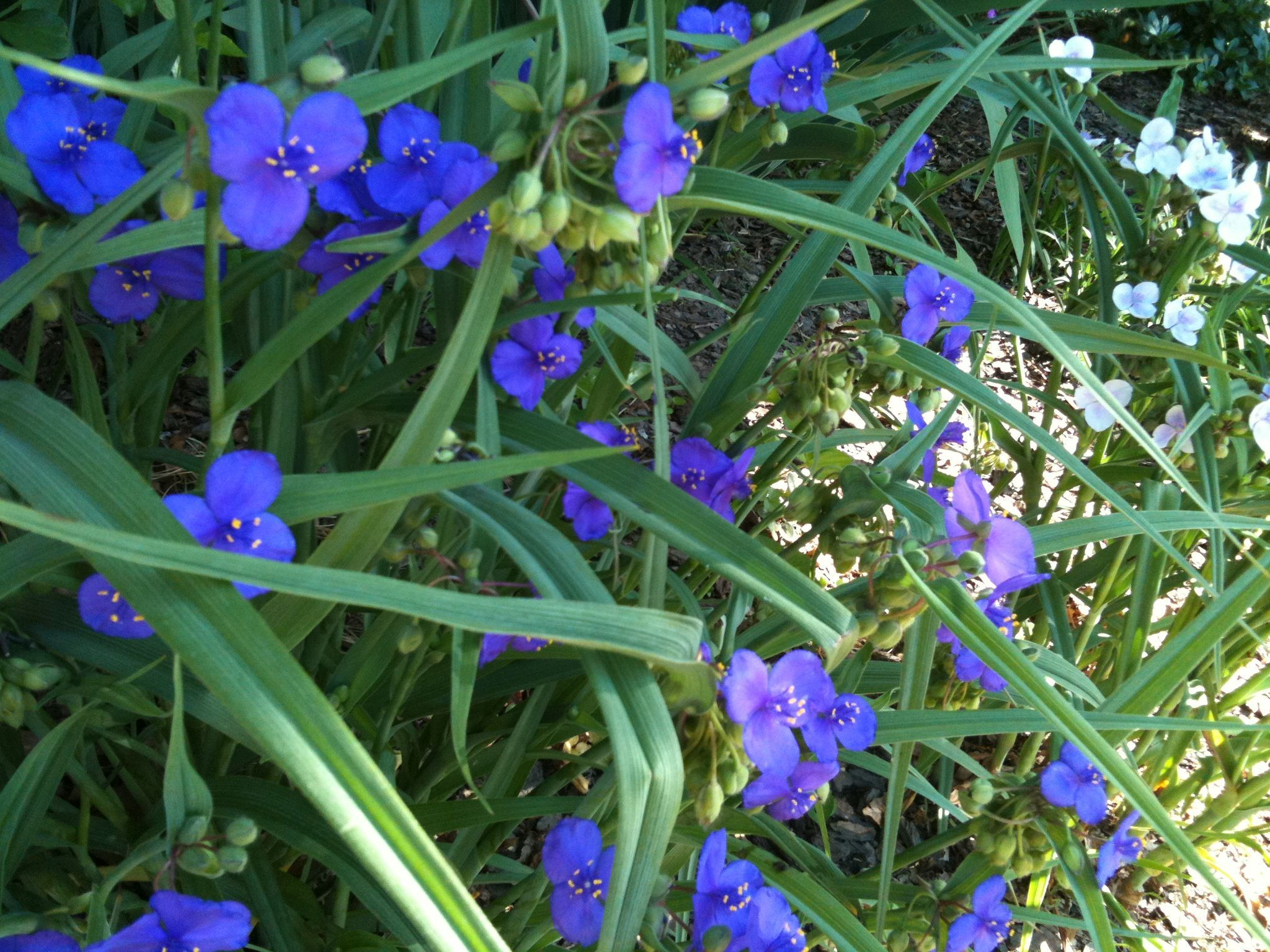 Florida SPIDERWORT. The young leaves and stems, which taste like green beans, can be used in salads, added to soups, or boiled and served as a vegetable. Cherokees and Creek's parboiled or fried T. virginiana (a close relative of T. Ohiensis) and mixed it with other greens. The Timucua of Florida did the same with Ohiensis. The purple flowers make quite a conversation piece when sprinkled atop a green salad or a fruit salad for a dinner party or candied for spectacular desserts toppings. SPIDERWORT.  The young leaves and stems, which taste like green beans, can be used in salads, added to soups, or boiled and served as a vegetable. Cherokees and Creek's parboiled or fried T. virginiana (a close relative of T. Ohiensis) and mixed it with other greens. The Timucua of Florida did the same with Ohiensis. The ...
