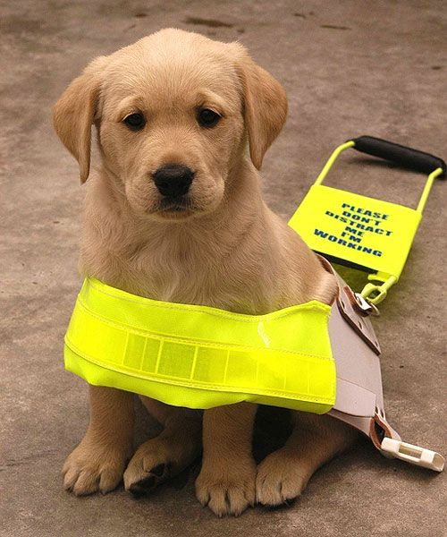 guide dogs Google Search Woof & Meow Pinterest Dog