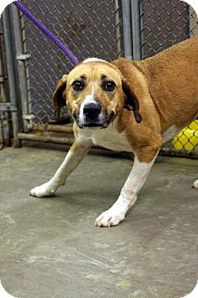 BROOKE (sweetheart) Beckley, WV - Hound (Unknown Type) Mix. Meet Brooke, a dog for adoption. http://www.adoptapet.com/pet/11799210-beckley-west-virginia-hound-unknown-type-mix