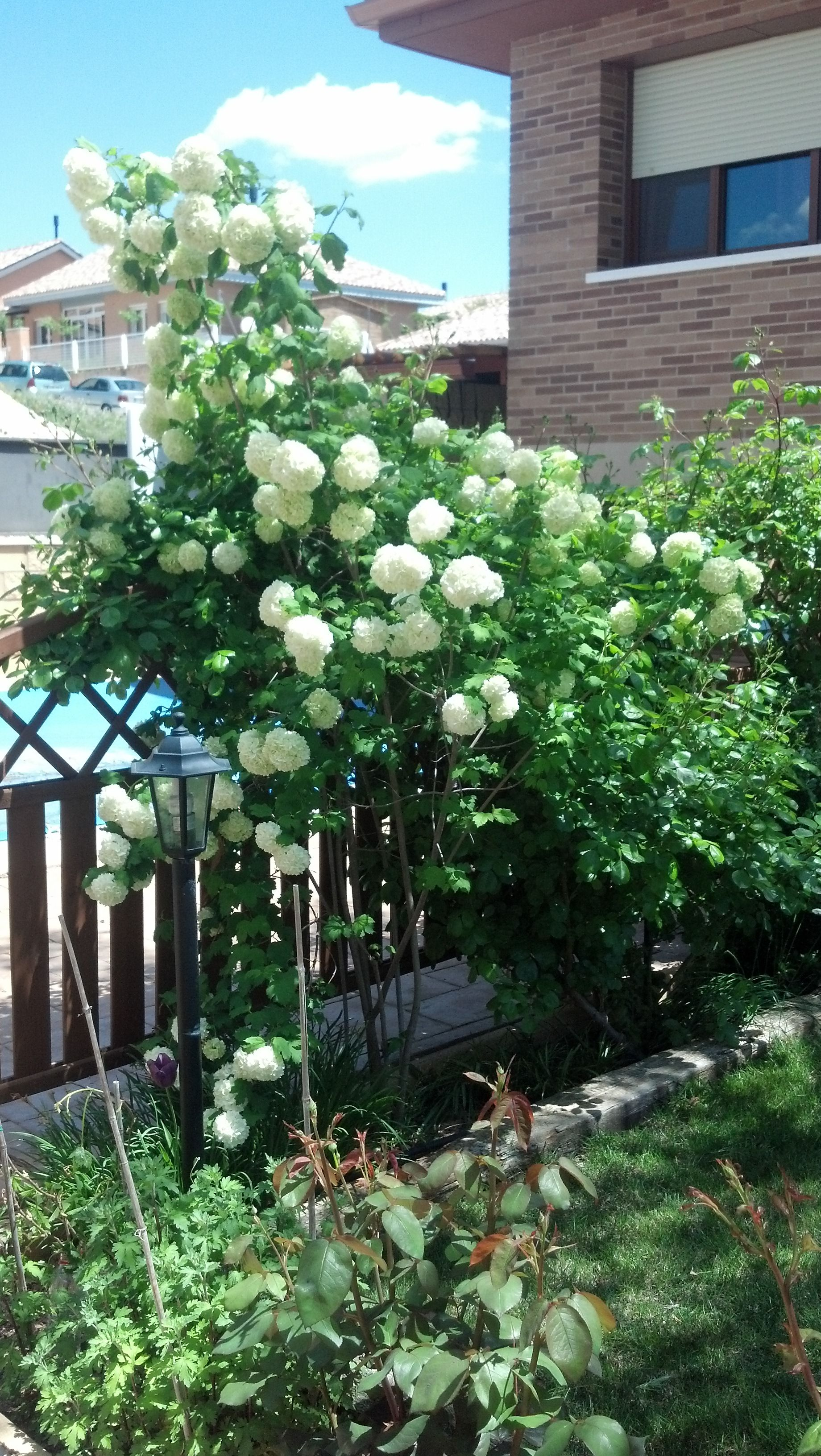 Bola de nieve arbusto de hoja caduca resiste la heladas for Arbustos de hoja caduca