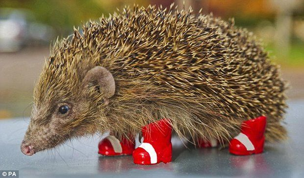 Amazing Photo Of A Real Hedgehog Wearing Sonic S Shoes Will Make You Say Awww Animals Hedgehog Funny Animals