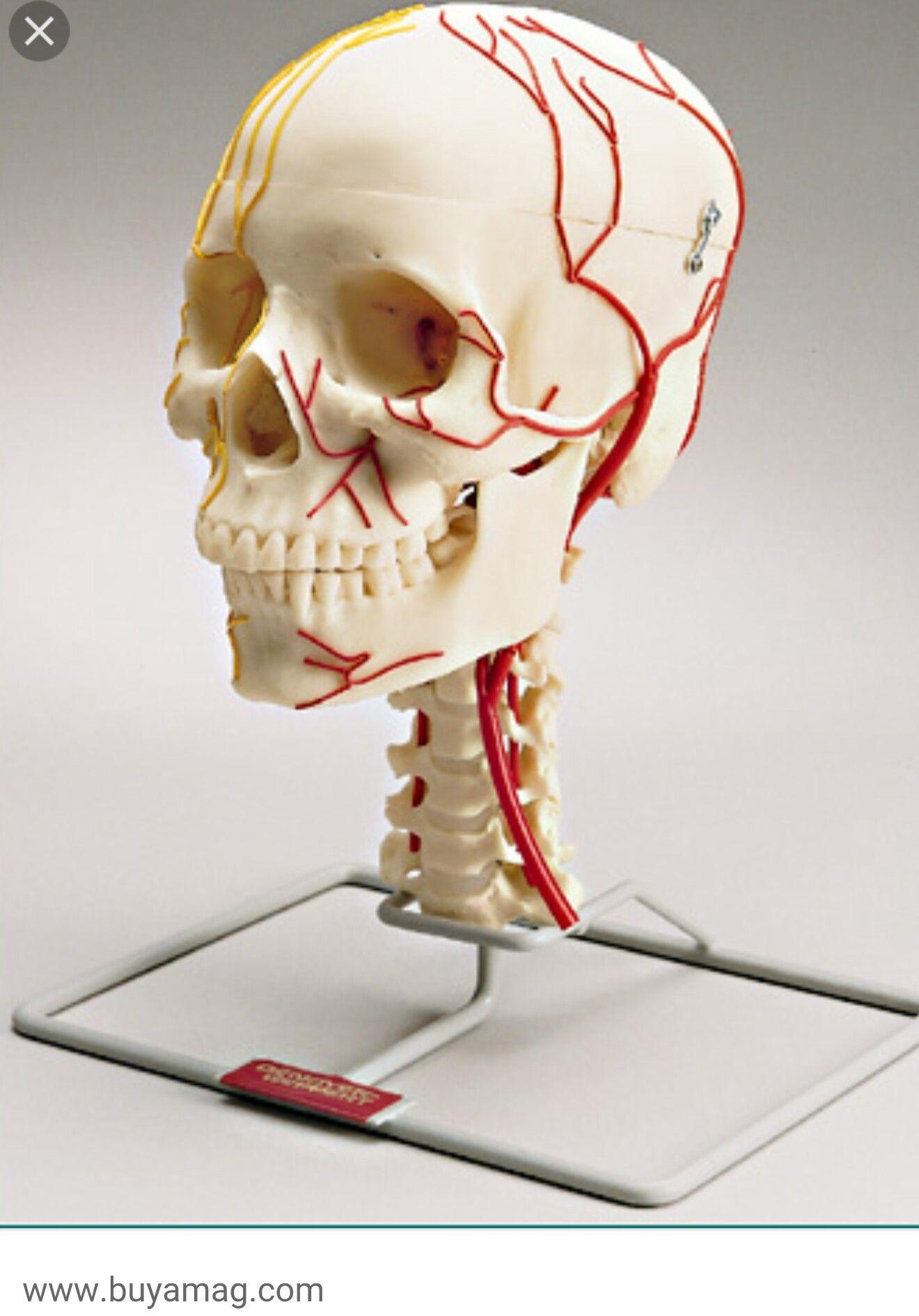 Skull Vessels And Nerves Map Head Neck Anatomy Pinterest