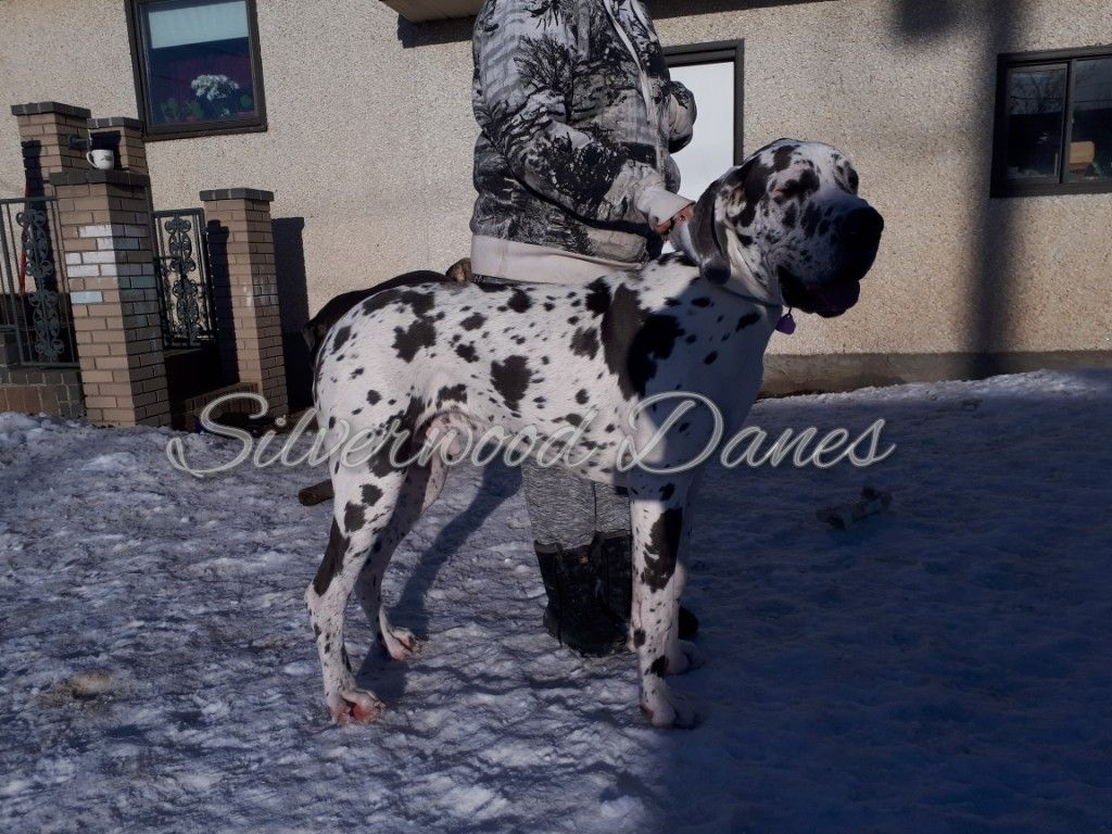 Arcane Is A 10 Month Old Blue Harlequin Great Dane He Was