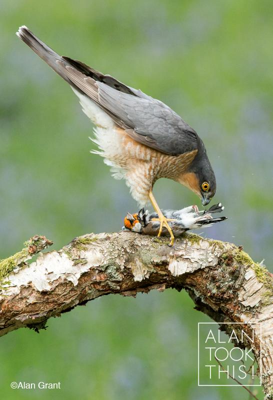 Baby sparrow hawk - photo#29