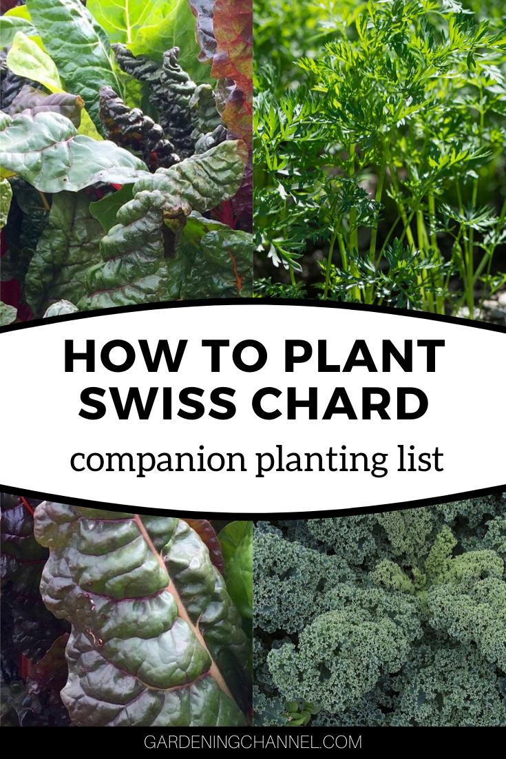 chard companion plants