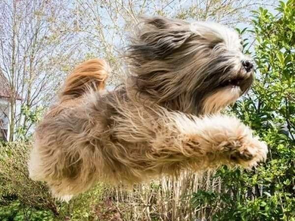Pin von Barbara rathmanner auf Flying Dogs Tibet terrier