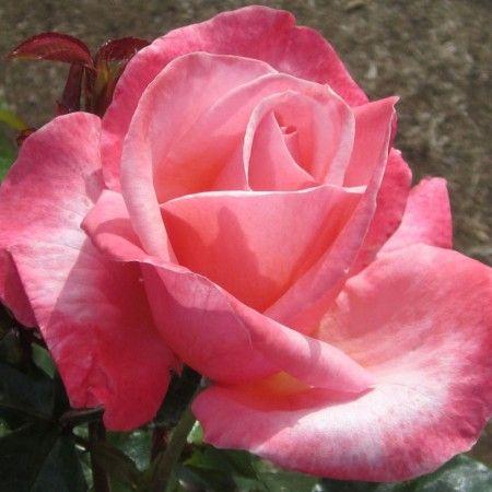 Silver Jubilee® - Roses - Heirloom Roses