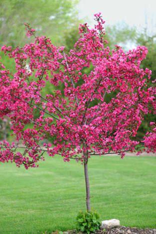 Malus Indian Magic Crabapple Tree Fiori Piante Giardino