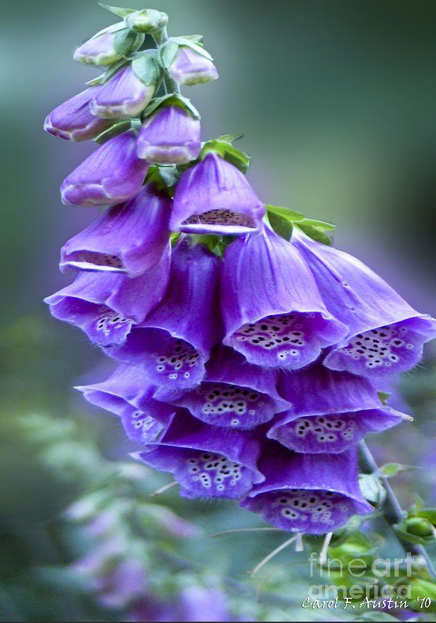 Bell flowers photograph purple bell flowers foxglove flowering bell flowers photograph purple bell flowers foxglove flowering stalk by carol f austin mightylinksfo