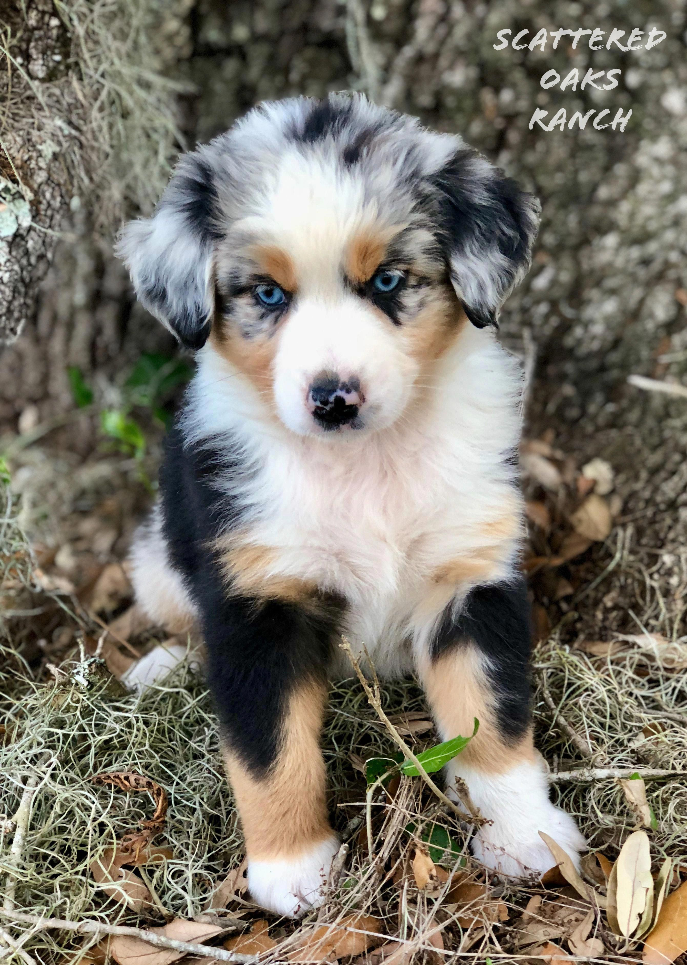 Australian shepherd smart working dog aussie dogs