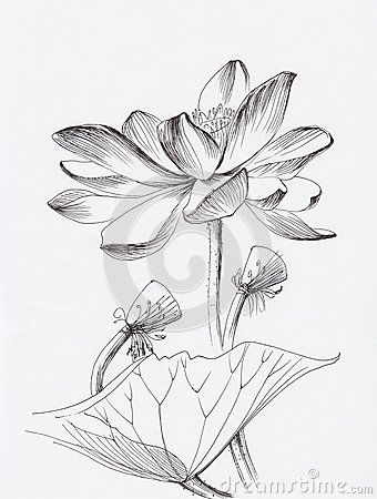 lotus flower draw nature pinterest lotus lotus flower draw mightylinksfo