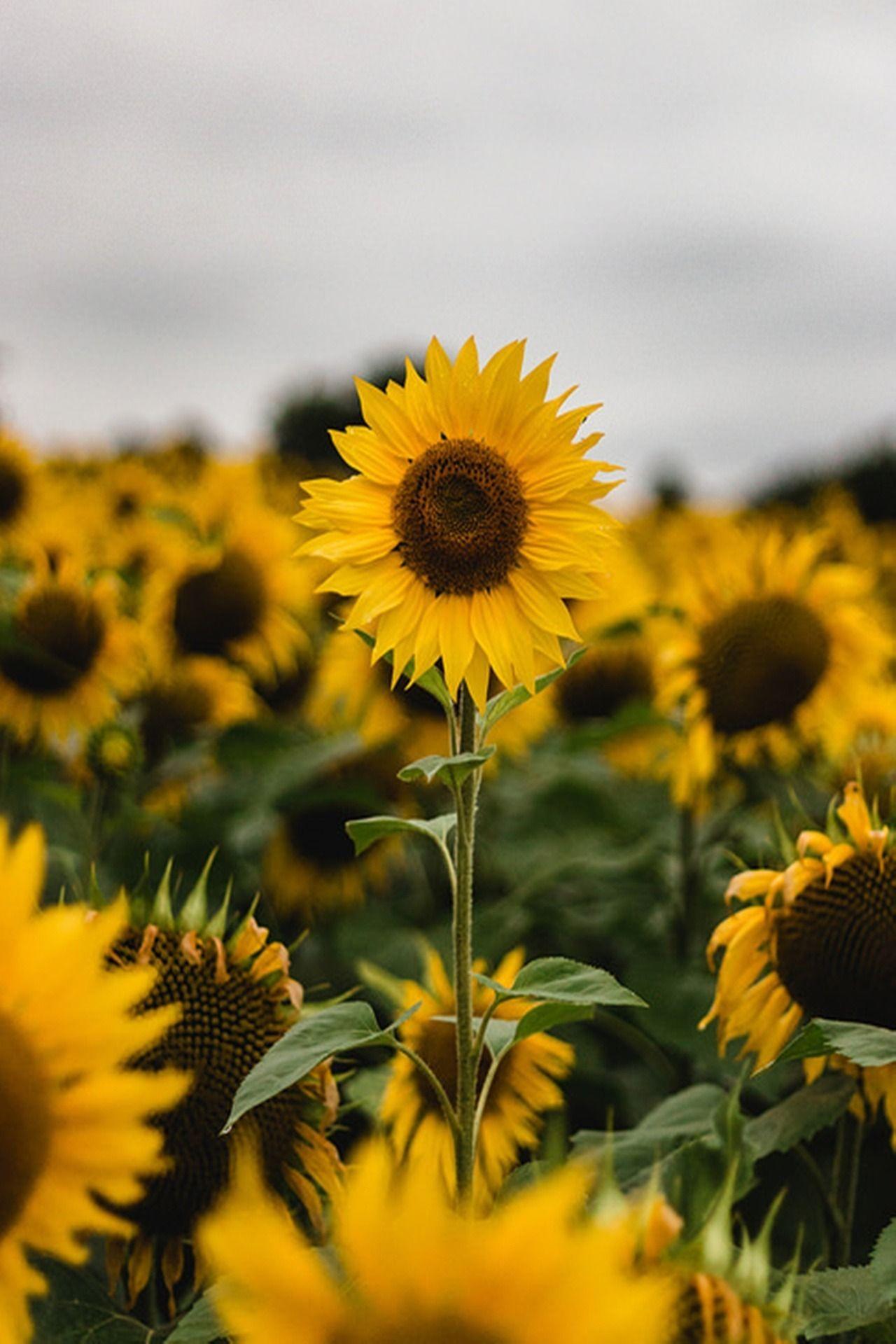 Pin by Betty Nerren on ***The HAPPY FLOWER*** | Sunflower ...