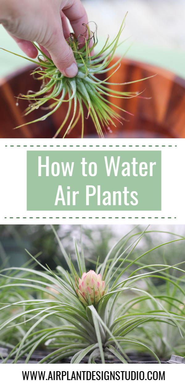 Tips For Watering Your Air Plants by Meriel Lesseig