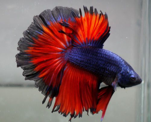 Live Tropical Fish Blue Red Black Lace Rosetail Halfmoon Betta F9 Tropical Fish Halfmoon Betta Betta
