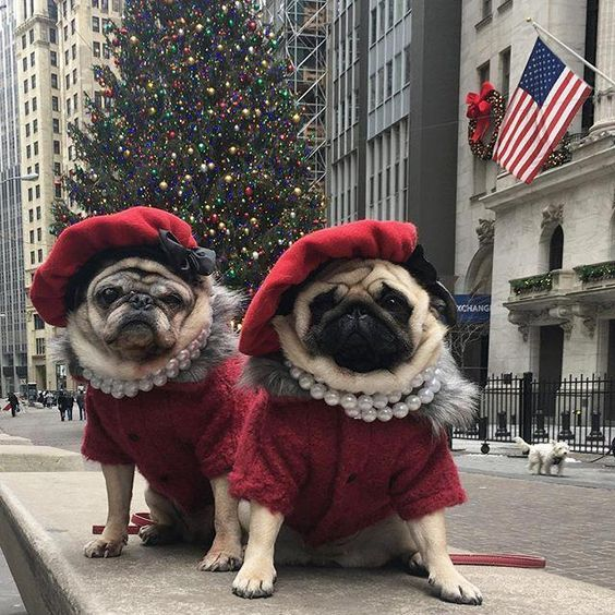 Christmas Pure Breed Pug Puppies For Free Pug Puppies Florida