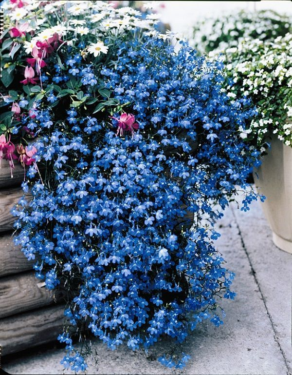 Care Guide to Growing Beautiful Lobelias