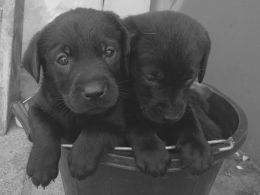 Black Labrador Pups For Sale Penrith Cumbria Pets4homes