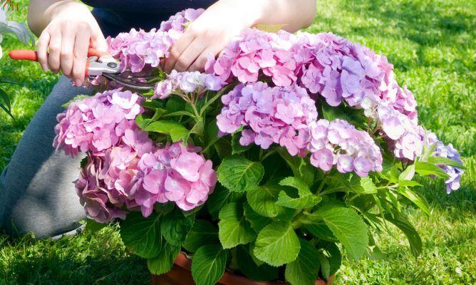 La poda de las hortensias jardines pinterest poda de - Bricomania jardineria ...