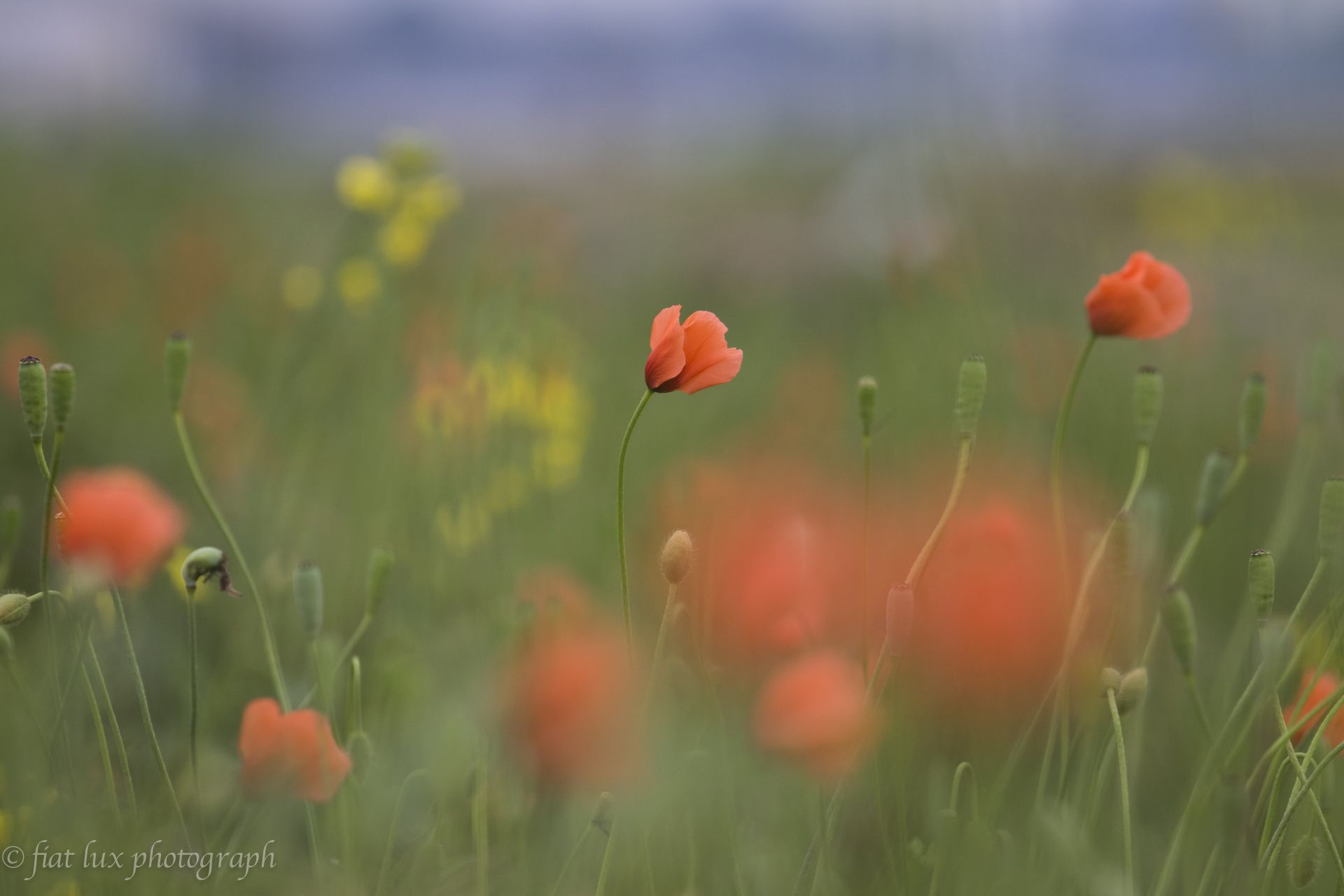 Photo poppy mohn mohnblumen
