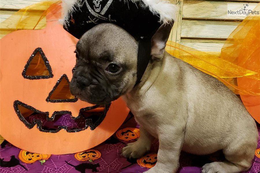 Simple Simon French Bulldog Puppy For Sale Near Houston Texas
