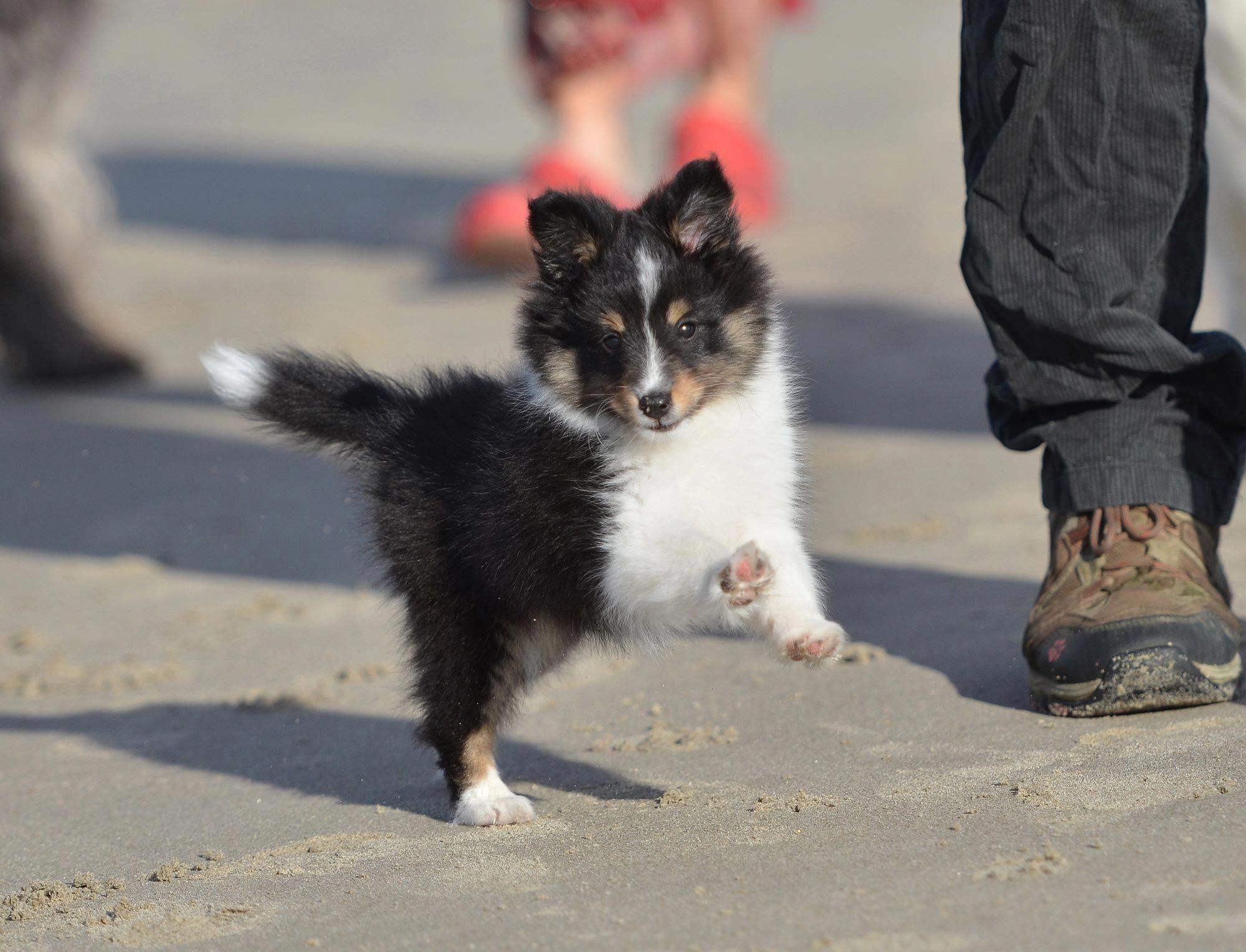 Discover Shetland Sheepdog Puppy Size Shetlandsheepdogs Shetlandsheepdogvalp Shetlandsheepdog Lover Sheep Dog Puppy Shetland Sheepdog Puppies Sheltie Puppy