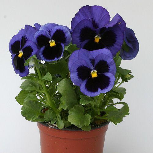 Pansy Heat Elite Blue Blotch Pansies Flower Seeds Annual Flowers