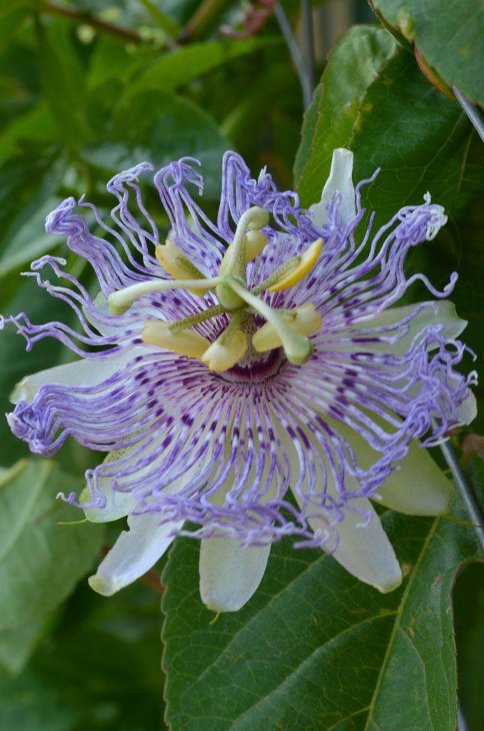 Passiflora Incarnata Purple Passion Flower Purple Passion Flower Passion Flower Flowers Perennials