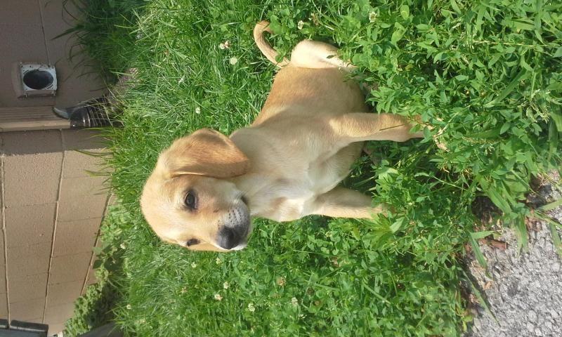 Adopt jessie on redbone coonhound puppies dogs