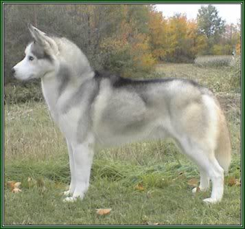 Silver Colored Sibe Beautiful Breeds My Husky Snow Dogs